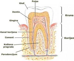 lečenje zuba - anatomija
