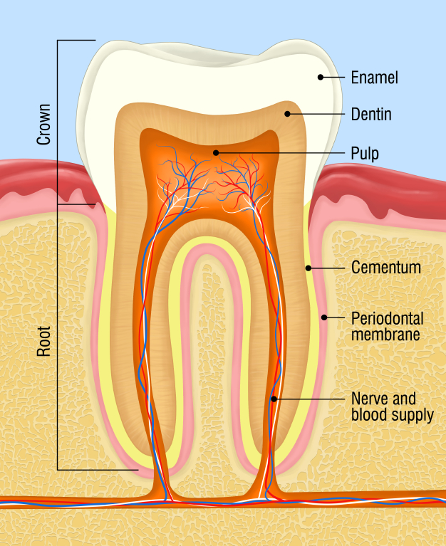 izgled zuba - morfologija